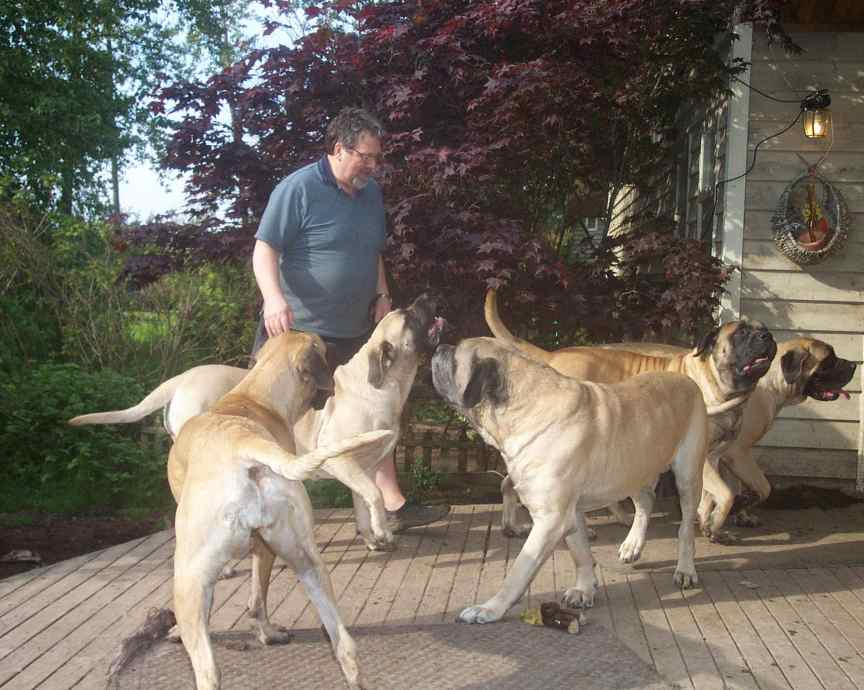 Five mastiffs happy to see daddy